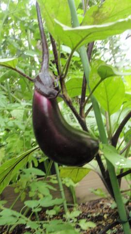 茄子初収穫