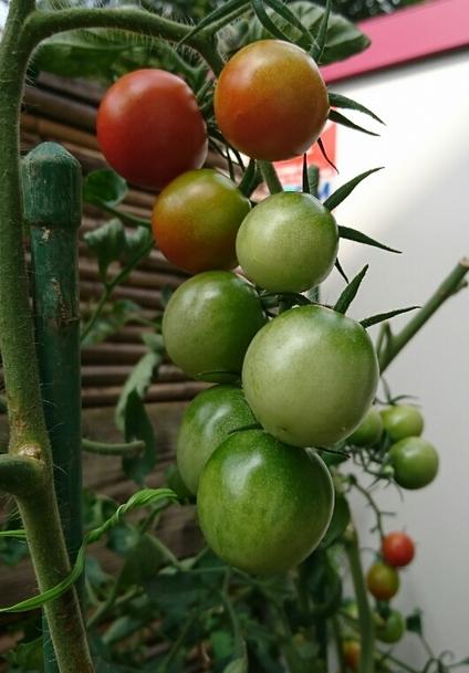 中玉ミニトマト中玉③
